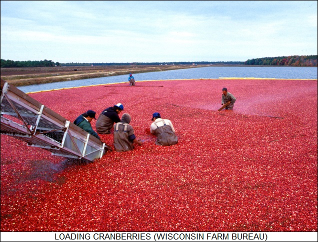 loading cranberries