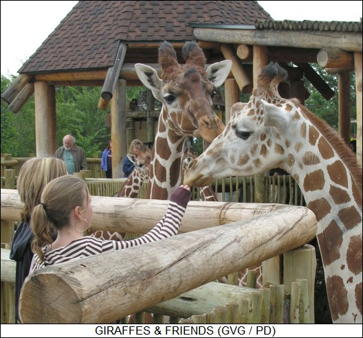 giraffes & friends