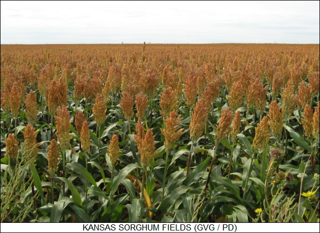 Kansas sorghum fields