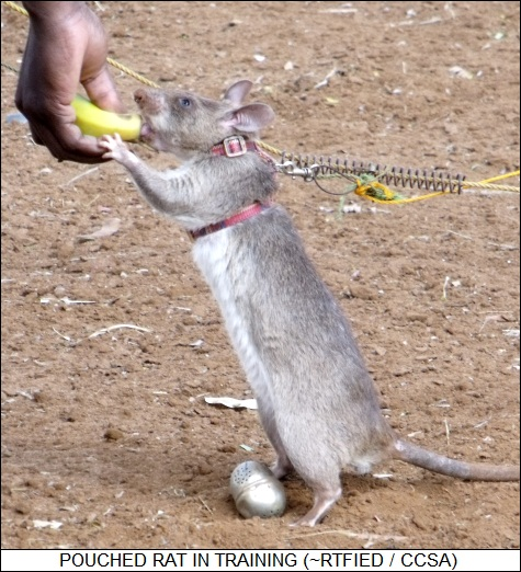 African pouched rats in training to hunt mines