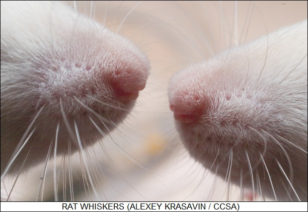 rat's whiskers