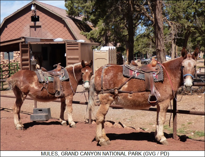 mules, Grand Canyon National Park